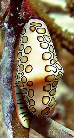 Another Flamingo Tongue, Bonaire.  Taken with Canon S70. by Juan Torres 